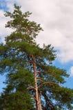 Seul vert de pin contre le ciel Photographie stock libre de droits