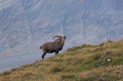 Seule chèvre marchant dans les Alpes Photo stock