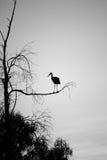 Seule cigogne Photos libres de droits