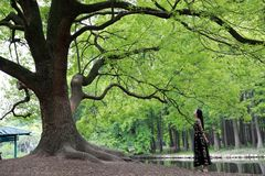 Seule femme sous un grand arbre de fleur images stock
