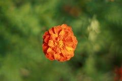 Seule fleur Photo stock