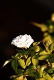 Seule fleur Photographie stock