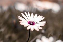 Seule fleur Photo libre de droits