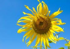 Seule fleur de Sun Image libre de droits