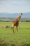 seule giraffe Photographie stock