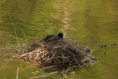 Seule une poule d'eau noire, sur un nid - France Image stock