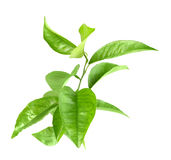 Branche d'agrume-arbre Image libre de droits