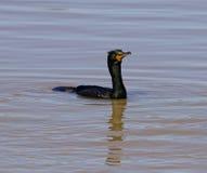 Seulement cormoran Photographie stock libre de droits