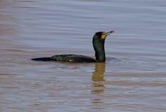 Seulement le cormoran nage quelque part Photos stock