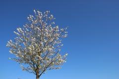 Seulement Sakura japonais de floraison fleurissant doux image stock