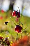 Seules fleurs brunes, cloches Photos libres de droits