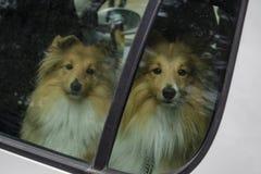 Seuls chiens dans une voiture photographie stock libre de droits