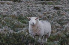 Seuls moutons Image libre de droits