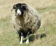 Seuls moutons Image stock