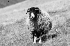 Seuls moutons Images libres de droits