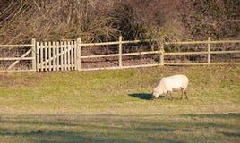 Seuls moutons Photo libre de droits