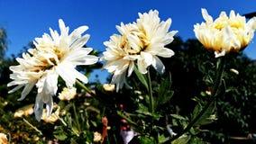 Sevanti blommor Royaltyfria Bilder