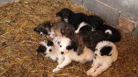 Seven adorable puppies resting blissfully. royalty free stock photography