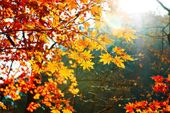 The seven angle golden maple leaves close-up Stock Image