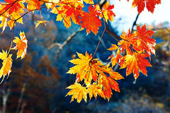 The seven angle golden maple leaves Stock Photography
