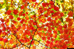 Seven angle maple leaves Stock Images