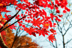 The seven angle red maple leaves close-up Stock Images