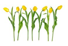 Seven beautiful vivid yellow tulip flowers on long stems with green leaves isolated on white background. Side, front and rare view.  Studio photo shoot stock images