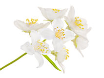 Seven big jasmin flowers Stock Photography