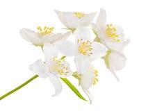 Seven big jasmin flowers Stock Photography
