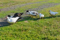 Seven black and white ducks. Walk along the green lawn royalty free stock photos
