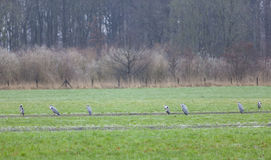 Seven blue herons in meadow near utrecht in the netherlands stock image