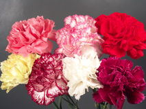 Seven Carnations Royalty Free Stock Images