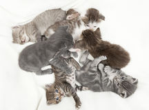 Seven cat babies Royalty Free Stock Photo