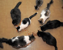 Seven cats eating Royalty Free Stock Images