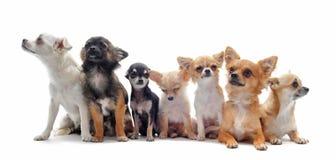 Seven chihuahuas Stock Photos