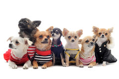 Seven chihuahuas Stock Image