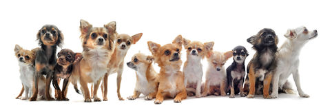 Seven chihuahuas Royalty Free Stock Photo