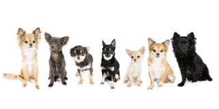 Seven Chihuahuas. Picture of seven Chihuahuas together royalty free stock photos