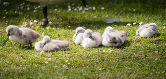 Seven cygnets on edge of lake sleeping in the sunshine stock photo