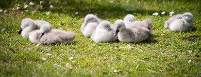 Seven cygnets on edge of lake sleeping in the sunshine stock photography