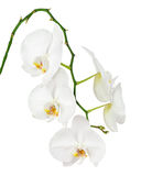 Seven day old white orchid isolated on white background. Stock Images