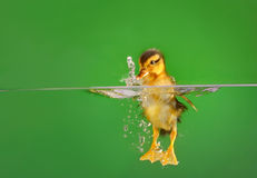 Seven days old duckling swimming Royalty Free Stock Image