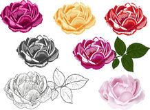 Seven different styles rose  on white Stock Images