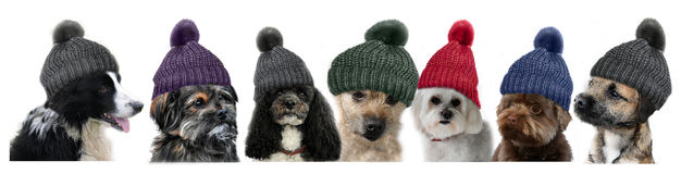 Seven dogs. With bobble hats on white Stock Photos