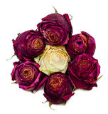 Seven dried red roses. Seven dried red rose buds in sun form Royalty Free Stock Photography