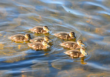 Seven little ducklings royalty free stock photos