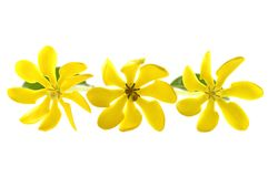Seven-eight-nine petals golden gardenia Stock Photo