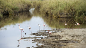 Seven flamingos in a watering hole royalty free stock images
