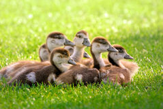 Seven fluffy goslings Royalty Free Stock Photos