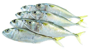 Seven fresh mackerel fish Stock Photo